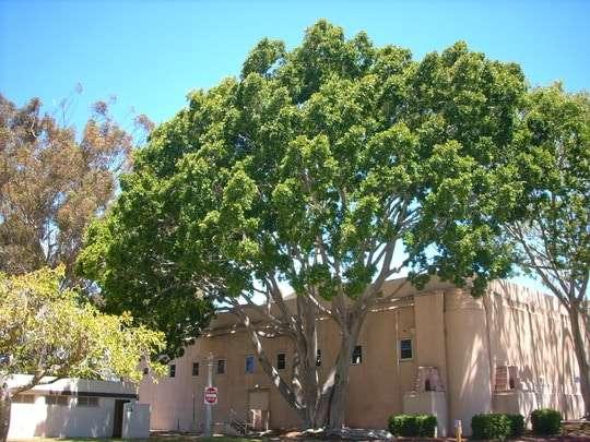 اشجار الظل امام المنزل للسيارة - الدليل الكامل